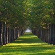 Alley of maple trees and green lawn in a park — Stock Photo