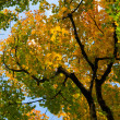 Maple tree with autumn leaves — Stock Photo
