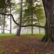 Mighty Beech Tree in foggy park — Stock Photo