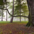 Mighty Beech Tree in foggy park — Stock Photo #14185534