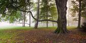 Potężny buk drzewo w parku mglisty — Zdjęcie stockowe