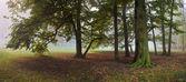 Stare drzewo bukowe w mglisty park jesień — Zdjęcie stockowe