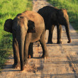 Indian elephants on the road in Udavalave national park , Sri La — Stock Photo