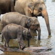 Stock Photo: Three drinking asian elephants standing from smaller to bigger