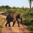 Stock Photo: Indielephant crossing road in Udavalave national park , Sri Lank