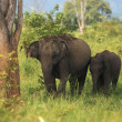 Indian elephants family in Udavalave national park - Stock Photo