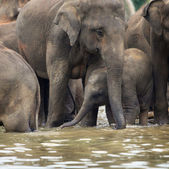Asian elephant baby standing under her mother in water — Stock Photo