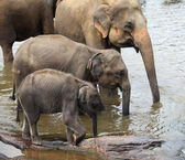Three drinking asian elephants standing from smaller to bigger — Stock Photo
