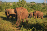 Indian elephant herd in Udavalave national park , Sri Lanka, — Foto Stock