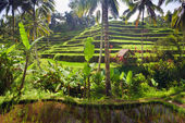Terrace rice fields on Bali — Stock Photo