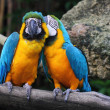 Whispering macaw — Stock Photo