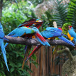 Sleeping macaws — Stock Photo