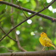 Orange-fronted Yellow Finch perched on a branch - Stockfoto