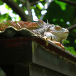 Green Iguana basking on a roof - Stockfoto