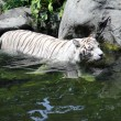 Stock Photo: Tiger wading in stream