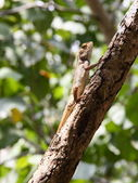 Basking Oriental Garden Lizard on branch — Stock Photo