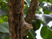Oriental Garden Lizard looking out — Stock Photo