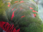 Macro shot of a Lory's feathers — Stock Photo