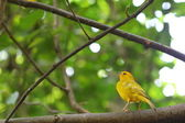 Orange-fronted Yellow Finch perched on a branch — Zdjęcie stockowe