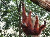 Orang utan wychodzić — Zdjęcie stockowe