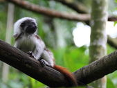 Close up of a Cottontop Tamarin baby — Stock Photo