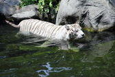 Tiger wading in stream — Stock Photo