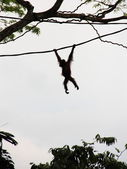 Silhouette of Orangutan on vine — Stock Photo