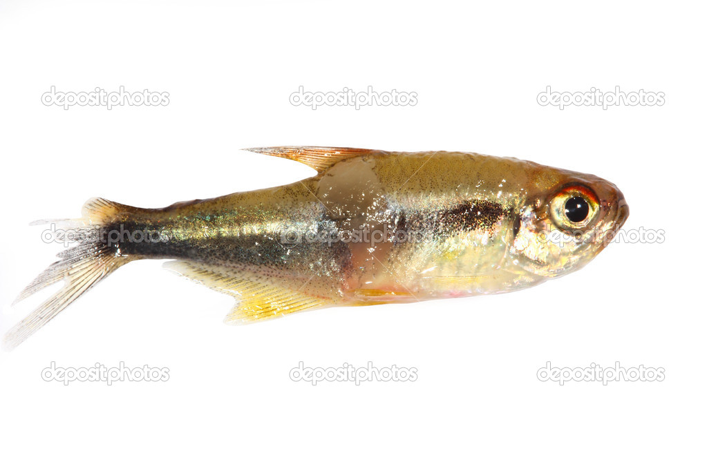 Black neon tetra (Hyphessobrycon herbertaxelrodi) fish injured in fight with open wounds and damaged fins — Stockfoto #13688196