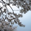 Cherry blossom full bloom - Stock Photo