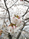 Macro of cherry blossom with blossoms in background — Stock Photo