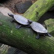 Pair of terrapins going in the same direction — Stock Photo
