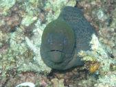 Moray eel looking forward — Zdjęcie stockowe