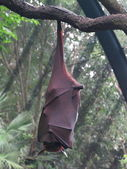 Flying Fox hanging on branch — Stok fotoğraf