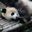 Lazy giant panda — Stock Photo