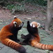 Stock Photo: Red pandas playing