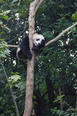 Giant panda sleeping in tree — Stock Photo