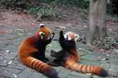 Red pandas playing — Stock Photo