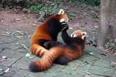 Red pandas play fighting — Zdjęcie stockowe