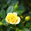 Yellow rose surrounded by buds — Stock Photo