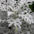Dusty Miller Plant (Senecio cineraria) — Stock Photo