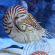 Nautilus with extended tentacles — Stock Photo