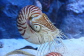 Nautilus with extended tentacles — Stok fotoğraf