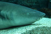 Nurse shark (Ginglymostoma cirratum) head shot — Foto Stock