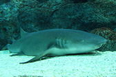 Nurse shark resting on bottom — 图库照片