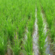 Padi field — Stock Photo #28814727