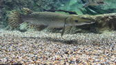 Alligator Gar from the side — Stock Photo