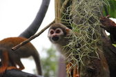 Common Squirrel Monkey peeking out of its hide — Stock Photo