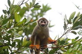 Common Squirrel Monkey looking at camera — Stock Photo