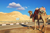 Camel standing near the desert road — Stock Photo