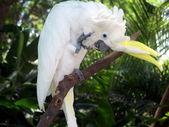 Parrot cockatoo — ストック写真